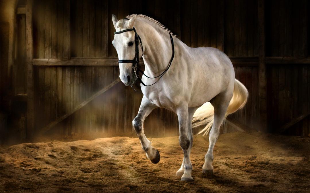 El caballo andaluz o Pura Raza Española